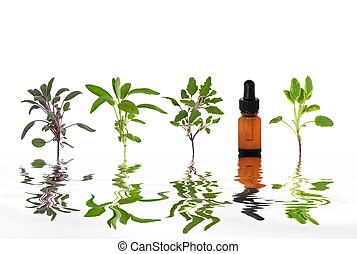 Sage Herb Leaf Essence - Sage herb leaf specimens with...