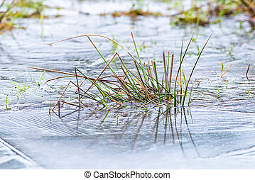 Grass is frozen in a icy pond