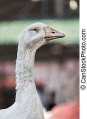 The boss - Beautiful full-blown goose on animal market in...