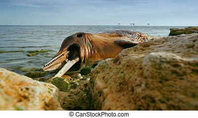 Dead Bottlenose dolphin - The victim Bottlenose dolphin lies...
