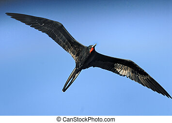 A male magnificent frigatebird Fregata magnificens flies
