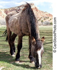 This Old Horse - Old haggard horse grazing on a ranch in New...