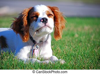 Cavalier King Charles Spaniel Puppy - Cute puppy playing on...
