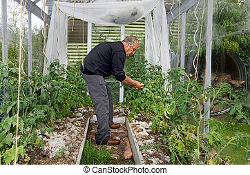 Man grow tomatoes in greenhouse - GLENORCHY, NZ - Jan 12:Man...