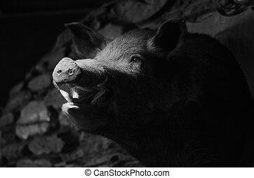 Taxidermy - Wild boar - Taxidermy of a wild boar hanged on...