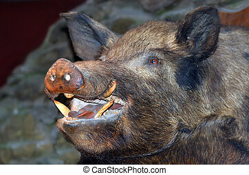 Taxidermy - Wild boar - Taxidermy of a wild boar hanged on...