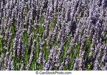 Lavender flowers grow in the field.