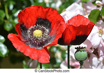 Opium flowers grow in the garden
