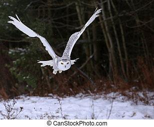 Gliding Snowy Owl - A Snowy Owl (Bubo scandiacus) gliding...