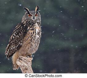Eurasian Eagle-Owl - A Eurasian Eagle Owl Bubo bubo sitting...