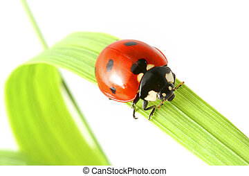 Ladybug on grass - Red ladybug on green grass isolated on...