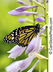 Beautiful monarch butterfly resting on purple flowers of a...