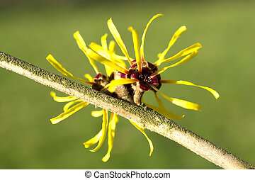Hamamelis or witch-hazel. - Hamamelis or witch-hazel in...