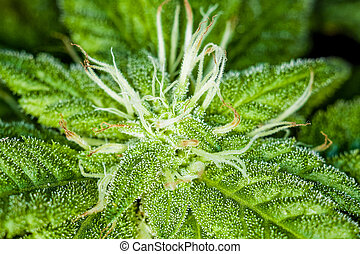 Closeup on Fresh Marijuana Plant and Buds
