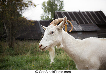 White goat - Adult white goat village with large horns.