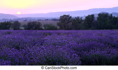 lavender plantation at sunset. Time lapse HD 30 fps
