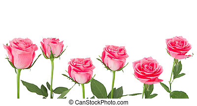 Natural pink roses background, close-up