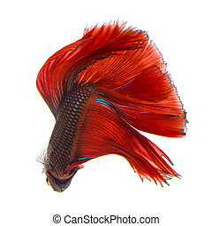 betta fish - siamese fighting fish, betta fish on white...