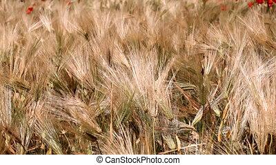 Wheat Crop - Wheat field. HD 30 fps.