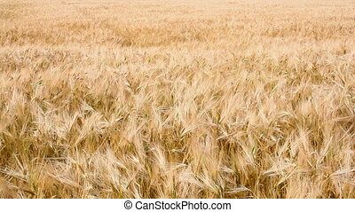 Wheat field. HD 30 fps.