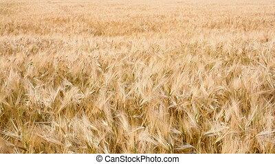 Wheat field. HD 30 fps.