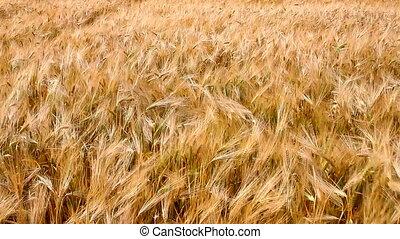 Ears of ripe wheat - Wheat field. HD 30 fps.