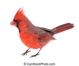 Cardinal Isolated - Male northern cardinal, Cardinalis...