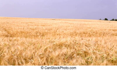Harvest - Wheat field on a background of blue sky HD 30 fps...