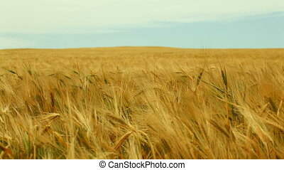 Its Time To Harvest - Wheat field on a background of blue...