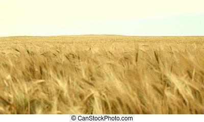 Ears   - Wheat field. HD 30 fps.