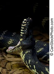 Boelen's python with its mouth wide