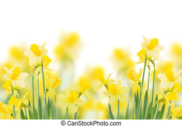 spring growing daffodils border isolated on white background