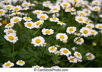 camomiles - field of white camomiles in summer
