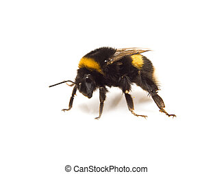 going bumble-bee - enormous fluffy bumble-bee on a white...