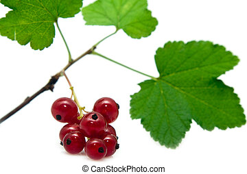 red currant - sprig of red currant on a white background