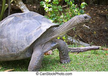 Giant tortoise - Seychelles Giant Tortoise Dipsochelys...