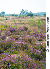 Field with purple heather