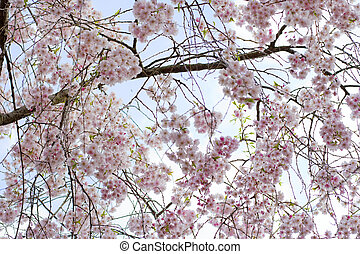 Cherry blossoms - Beautiful weeping cherry flowers.