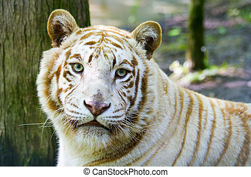 Albino tiger - Rare albino tiger at the feline rescue center...