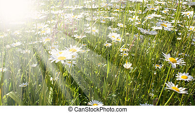 field flowers - tender field flowers on the green field in...