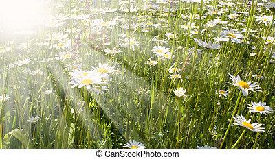 field flowers - tender field flowers on the green field in...