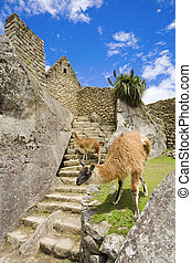 Llamas at Machu Picchu - Llamas walking among old ruins at...