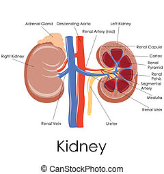 Human Kidney Anatomy - vector illustration of diagram of...