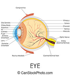 Human Eye Anatomy - vector illustration of diagram of human...