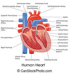 Human Heart Anatomy - vector illustration of diagram of...