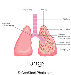 Human Lungs Anatomy - vector illustration of diagram of...