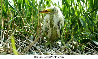 White Egret chick - White heron chick sitting in the nest,...