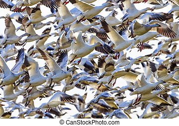 Lift Off Hunderds of Snow Geese Taking Off Flying - Hundreds...