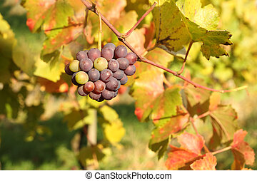 otoño, estación, viña