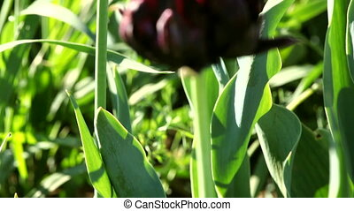 Black Tulip close-up on a light green background. HD 30 fps.